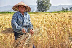 isolant paille de riz